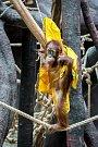 V sobotu je Mezinárodní den orangutanů a malá Diri ze Zoo Praha se už těší na dárky.