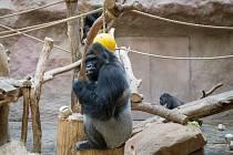 Zoo Praha slavnostně zahájila stavbu nového Pavilonu goril.