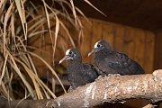 Dvojice mláďat holubů prvně opustila hnízdo rodičů.