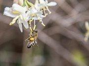 Kromě včely medonosné (na snímku) mohou návštěvníci spatřit i včely zednice nebo drvodělky, které využívají hmyzí hotely rozmístěné po zoo.