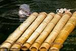 Expozice vyder hladkosrstých byla nově doplněna o bambusový vor, kolem něhož tyto vodní šelmy plavou, mohou si na něj vylézt a chovatelé jim na něj občas umisťují i potravu.