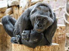 Oblíbená samice gorila nížinná Kamba oslaví své 45. nalezeniny.
