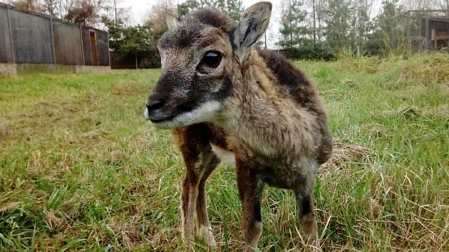 Pes v Praze pokousal muflonče. Ročně záchranná stanice pro volně žijící zvířata řeší dvě stovky podobných případů.