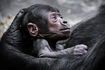 To, že se gorila Shinda dočkala v pražské zoologické zahradě potomka, je malý zázrak.