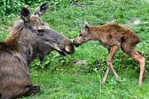 Své třetí mládě porodila v pondělí samice losa evropského Šárka.