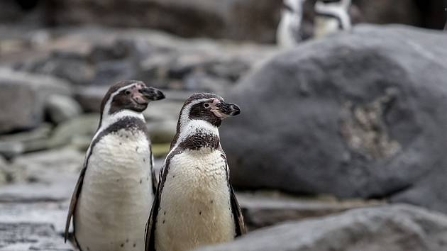 Tučňák Humboldtův 8. prosince v Zoo Praha.