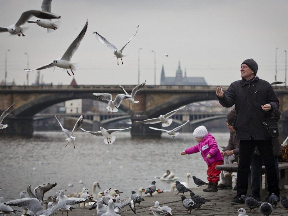 Krmení racků, holubů a labutí na pražské náplavce.