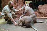 Krmení hrabáčů kapských se v pražské zoologické zahradě koná každý den (kromě čtvrtka) od 10 hodin.