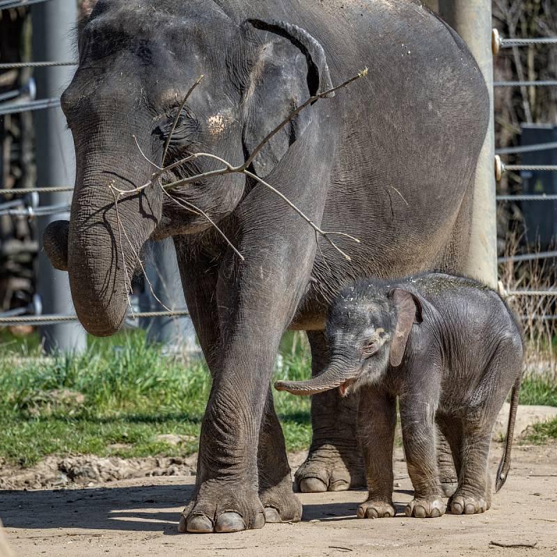Sloní samička ze Zoo Praha byla v neděli poprvé venku.
