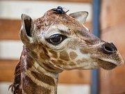 Čerstvě narozená žirafa v Zoo Praha.
