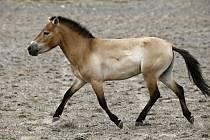 Návrat koní Převalského do přírody