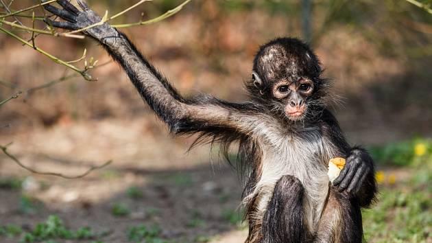 Mládě kriticky ohroženého chápana středoamerického v pražské zoologické zahradě.