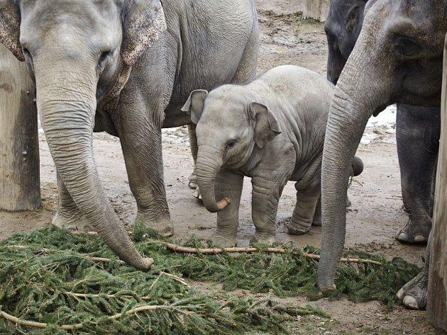 Sloni z pražské zoologické zahrady si pochutnali na větvích vánočního stromu ze Staroměstského náměstí.
