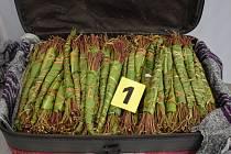 Ruzyňští celníci odhalili v zavazadlech čtyřiatřicetiletého Nizozemce rostliny katy jedlé.