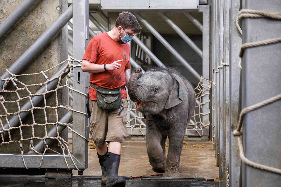 Dle slov vrchního chovatele slonů Martina Kristena je prioritou rychlý nácvik odběru krve. Nejen ten, ale například i pravidelné měření teploty, pečlivé pozorování jejich chování či zájmu o potravu pomůže odhalit známky případných zdravotních komplikací.