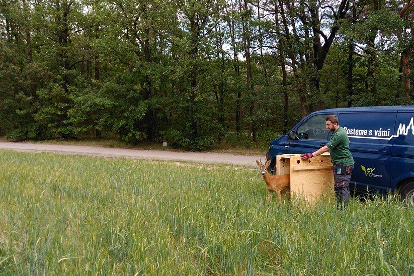 Srneček skočil na zahradu rodinného domu v Dejvicích, zvířecí záchranáři ho vypustili v Chuchelském háji