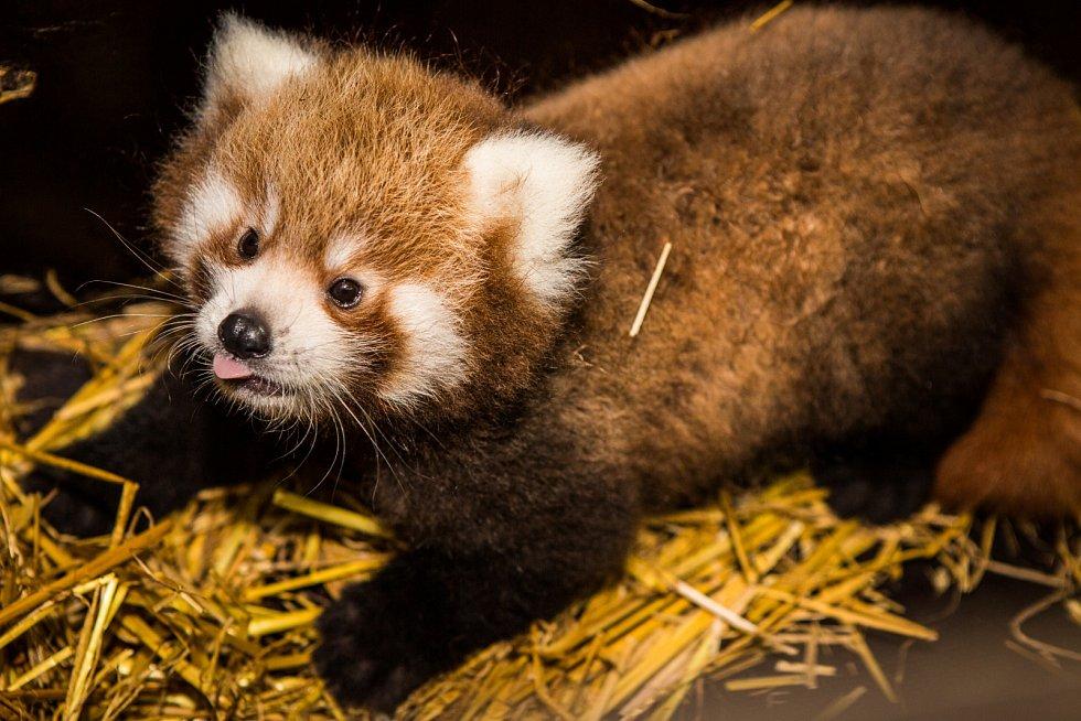 Zoo Praha chová pandy červené od roku 1955. Regica (na fotografii) a Pat tvoří pár teprve od loňského podzimu.