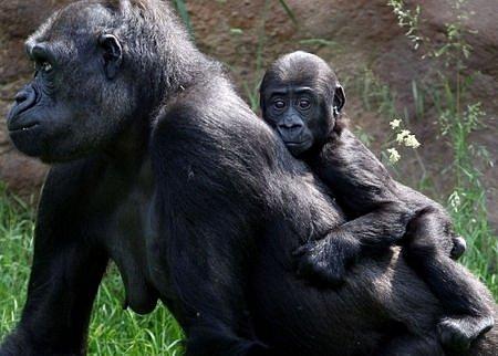 První narozeniny gorilího mládětě Tatu oslavili v pražské zoologické zahradě 1. června.