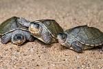Tři samečci želvy Smithovy.