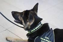 Speciálně vycvičení psi ruzyňských celníků.