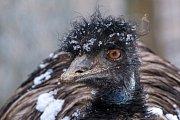 Sněhová pokrývka nerozhodí ani emu hnědého.