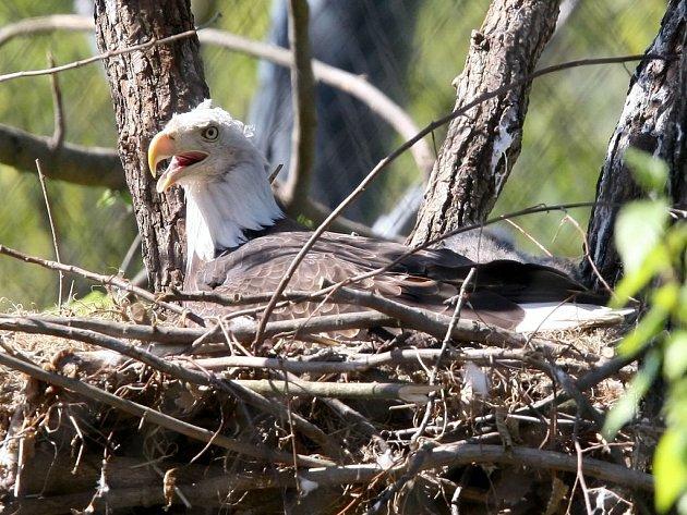 Mládě orla bělohlavého.