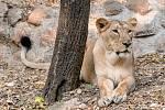 Pražská Zoo získala trojici indických lvů. Na snímku Suchi.