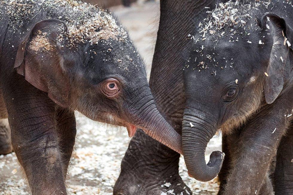 Obě slůňata v Zoo Praha se o sebe navzájem zajímají.