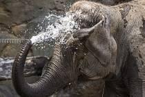 Oslava Mezinárodního dne slonů v Zoo Praha. Slonice si mimořádnou nadílku dobrot opravdu vychutnaly a občas se o ně i pošťuchovaly.