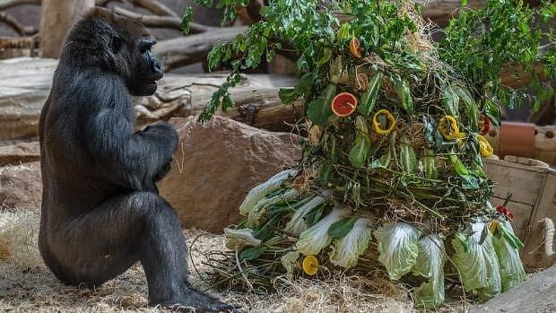 Gorilí samice Bikira slavila dvacáté narozeniny.