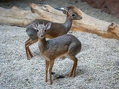 Dikdici Kirkovi patří mezi nejmenší antilopy světa.