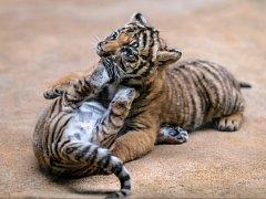 Vzácná mláďata tygra malajského dostanou v neděli v pražské zoo jména od kmotrů ze skupiny Laura a její tygři.
