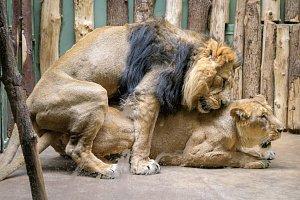 Pár lvů indických v pražské zoo při páření
