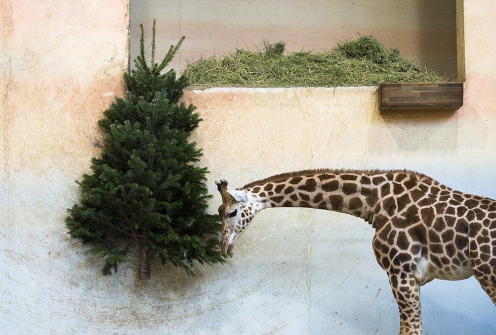 Vánoce v pražské zoo