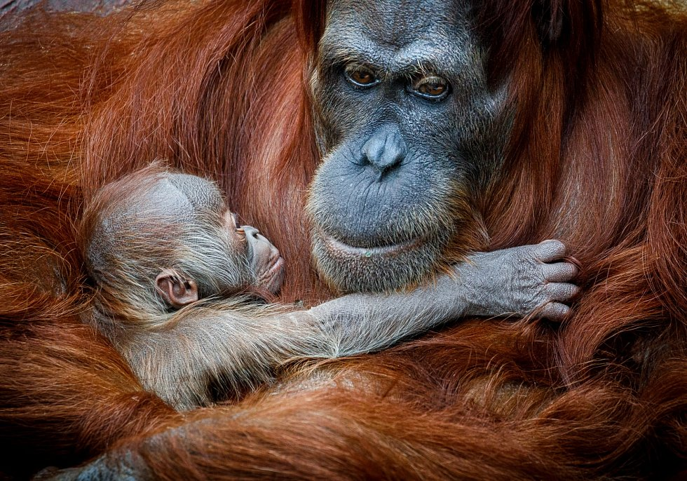 Sameček orangutana sumaterského Pustakawan, zkráceně Kawi, ve věku dvou dnů.