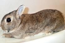 Zakrslý králík. Ilustrační foto.
