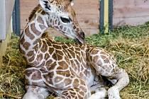 Nejmladší pražské žirafí mládě – sameček narozený v sobotu 9. srpna samici Faře.