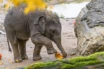 Dýňové hodování. Sloní slečna si teprve utváří názor na věc.