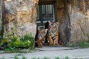 Lední medvědi oslaví svůj Mezinárodní den v Zoo Praha v sobotu 24. února.