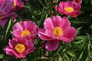 Pivoňky v botanické zahradě lákají milovníky květin