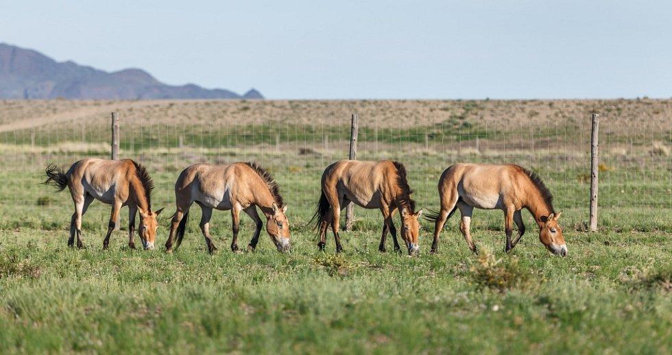 Klisny přepravené do Mongolska před týdnem se v klidu procházejí po aklimatizační ohradě v chráněné oblasti Gobi B. Zleva Querida, Kírá, Rabea a Paradise.
