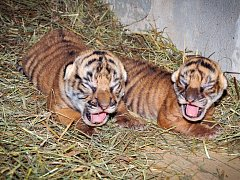 V Zoo Praha se narodila dvě mláďata tygra malajského.