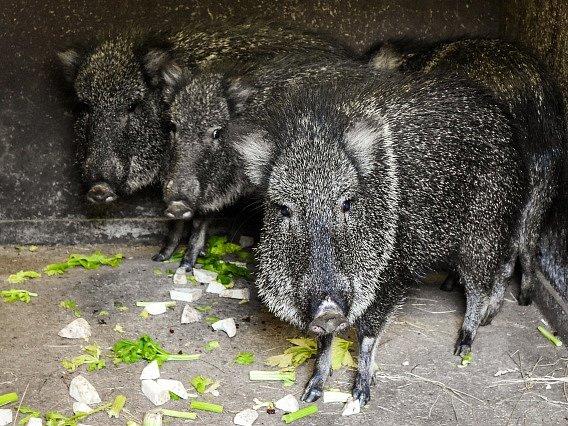 Pražská zoologická zahrada získala dva samce a dvě samice pekari Wagnerova (na snímku z 26. června), což je nejvzácnější ze všech druhů pekariů.