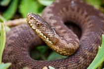 V pražské zoologické zahradě odchovávají třetí generaci zmije obecné.