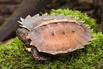 Želva ostnitá.