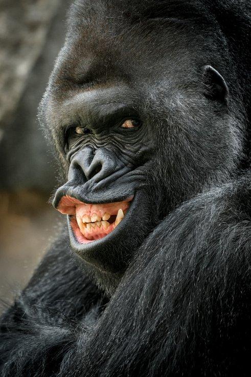 Jedním z největších lákadel pražské zoo je gorilí samec Richard s rodinou.