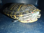 Odchycená želva.