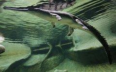 Gaviálové indičtí patří mezi nejohroženější krokodýli světa.