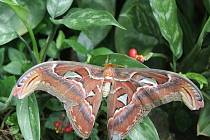 Motýl Attacus atlas s největší plochou křídel na světě.