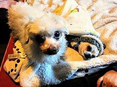 Nalezený pes dostal jméno Toníček a má se skvěle.